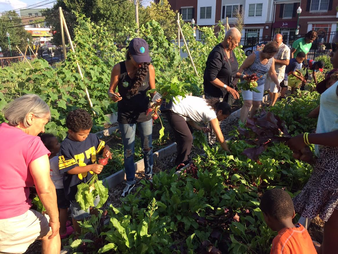 Harvesting Beets - Vita Health and Wellness District